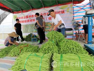 柳南区:种植豆角助脱贫