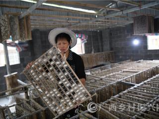 罗城县:种桑养蚕成脱贫致富特色产业