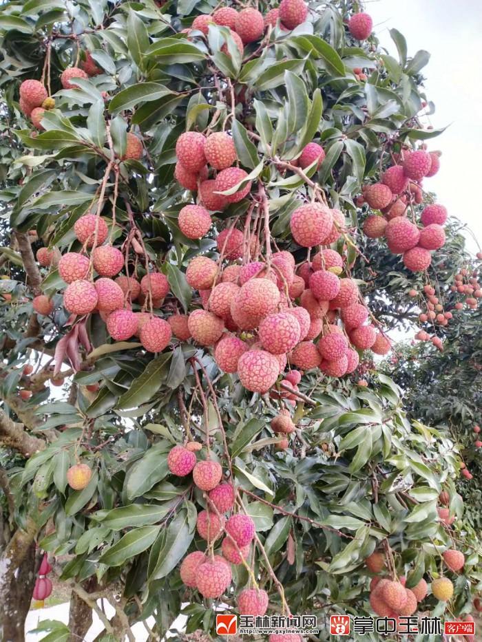 今年不一样?为何玉林荔枝产业硬伤软肋突然变成了优势......