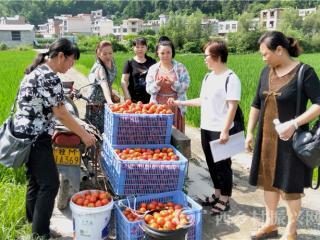 南丹县:城关镇灾后农技人员田间指导 保番茄复产丰收
