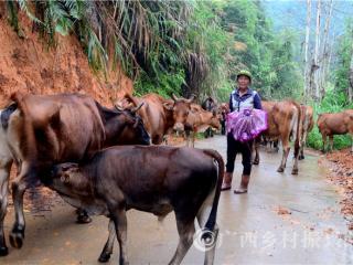 平桂区:农户发展养牛致富