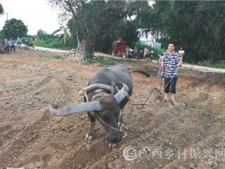 宁明县:第一书记来耕牛  贫困群众暖心头