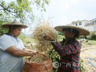 融安县:小小鱼腥草 农民致富草