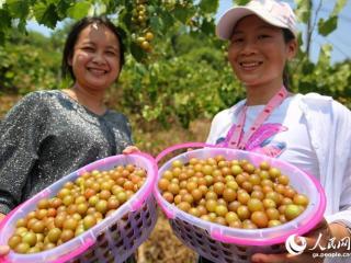 融水县:大苗山特色葡萄引客来