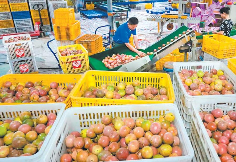 广西小伙3年卖出1500万斤百香果 销售额破7000万元