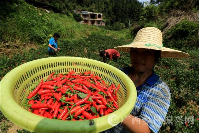 """融安县:贫困群众种植""""朝天椒""""致富"""