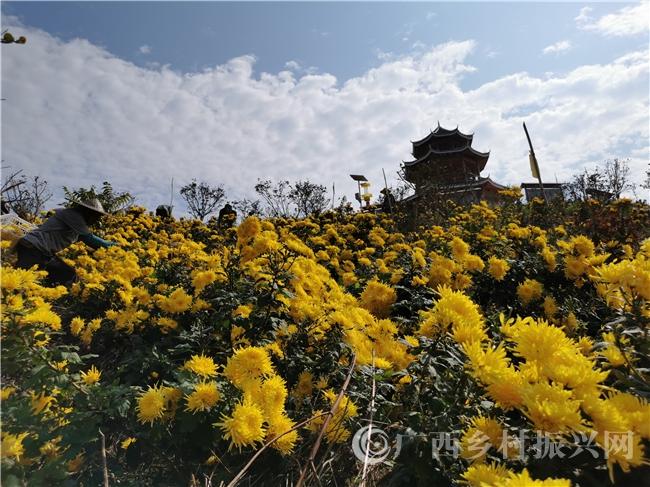"""环江县:万亩产业园开出千亩""""致富花"""""""