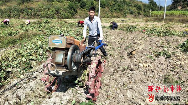 苍梧县旺甫镇竹洞村:红薯种植基地喜获丰收