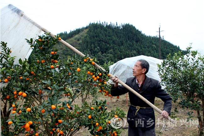 融安县:推行金桔标准化种植巩固脱贫成效