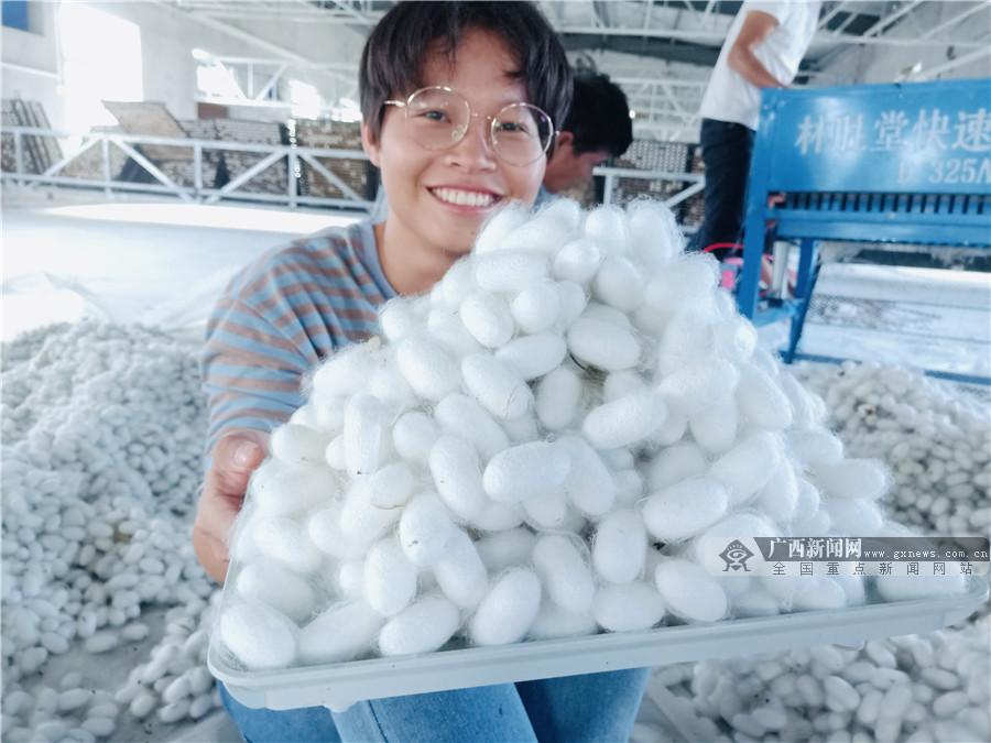 广西小蚕规模化人工饲料共育在广西试养成功