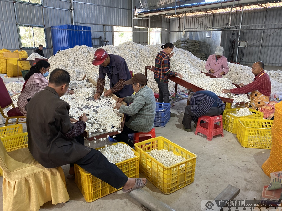 马山县:精准定位产业发展 桑蚕产业带动脱贫增收