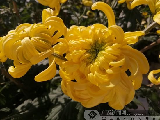 首届美丽南方·菊花文化节将于12月20日开幕