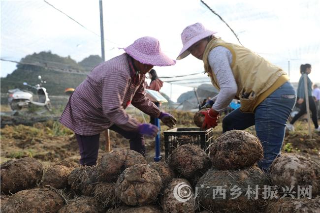 """环江县:""""魔芋""""丰收测产  单个最大10.35公斤"""