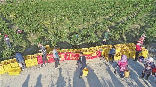 象州县:又是一年丰收季  品鲜果话商机