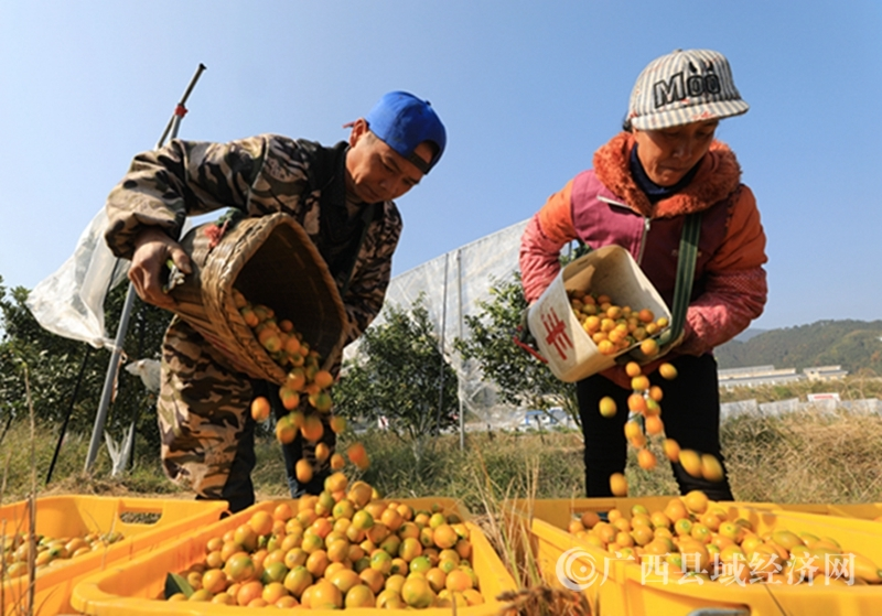 融安县:百村万亩金桔园迎来丰收季