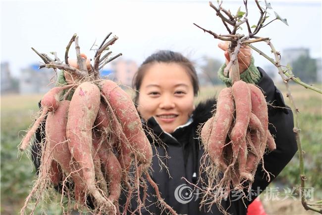 融安县:扶贫紫薯喜获丰收