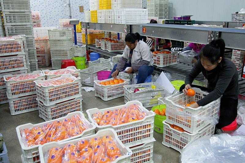 邕宁区:电商企业扶贫助农 邕宁沃柑线上热销