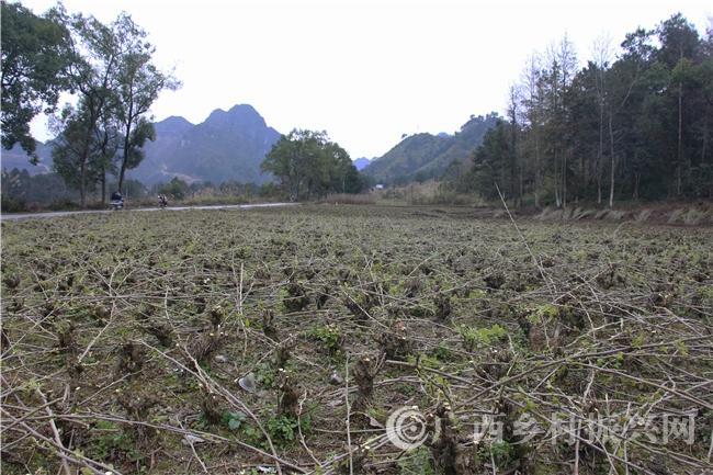 南丹县:扶贫桑园冬季管护忙