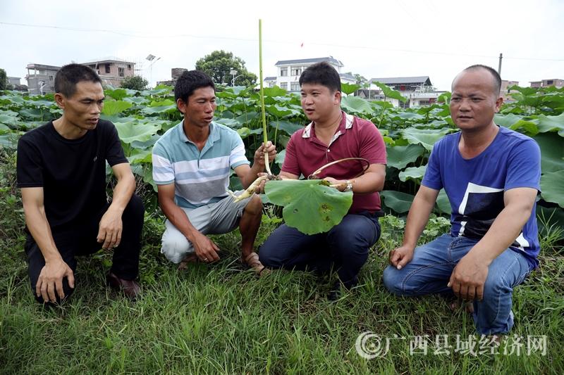 平桂区:发展双季莲藕特色产业助农增收