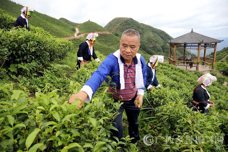 平桂区:茶产业助茶农脱贫致富
