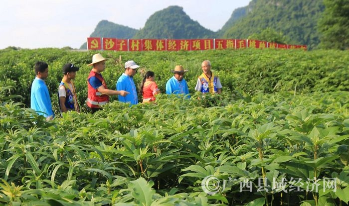 融安县:沙子村发展集体经济 推广种植五指毛桃产业