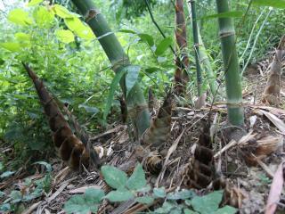 象州县妙皇乡古朴村:发展甜龙竹产业促增收