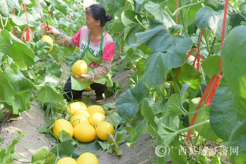 """岑溪市:发展""""甜蜜经济""""助农脱贫增收"""