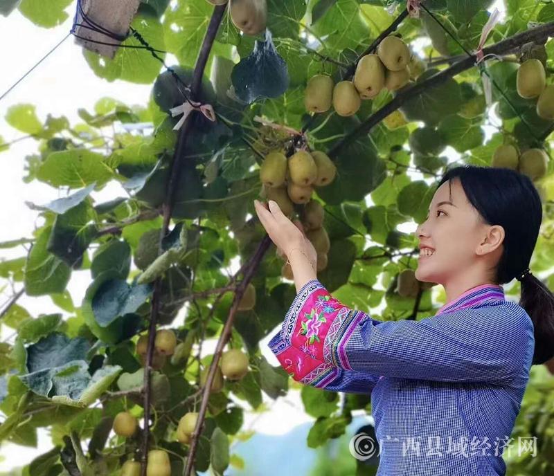 乐业县:同乐镇红心猕猴桃进入采摘季