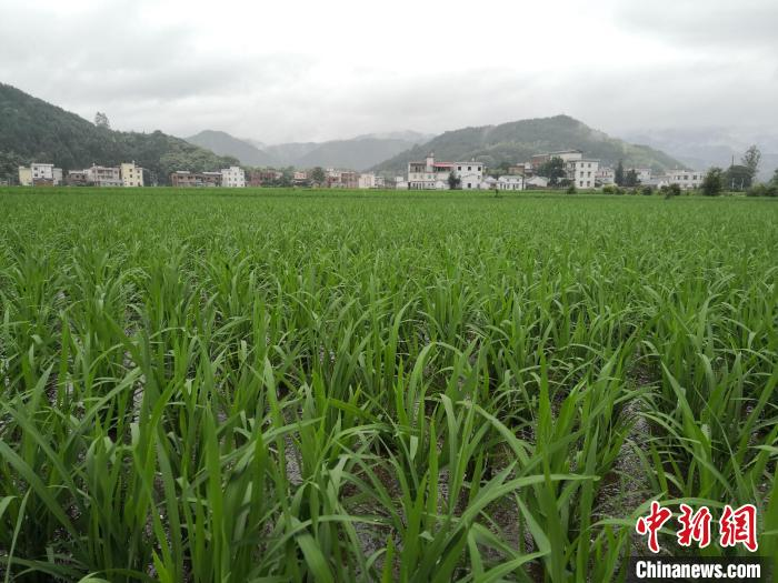 图为5月24日拍摄的联德村示范基地稻田。  赵琳露 摄