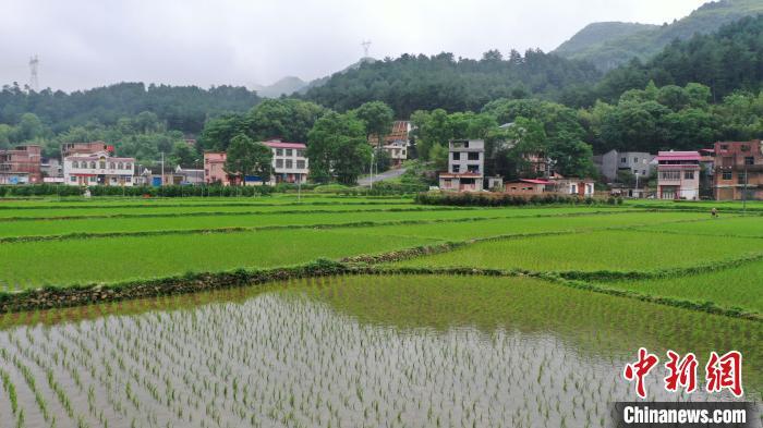 图为5月23日,航拍广西桂林市灌阳县新圩镇小龙村杂交水稻种植区域。  杨宗盛 摄