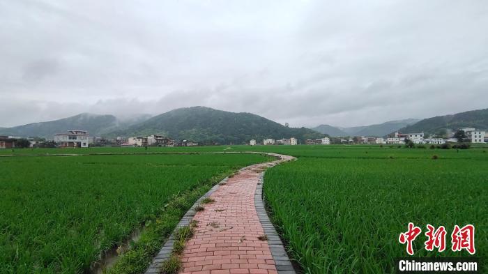 图为5月24日拍摄的联德村示范基地稻田。  杨宗盛 摄