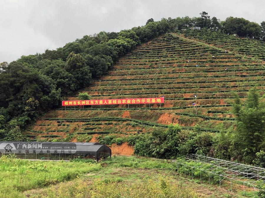 梧州市长洲区:发展特色农业 提亮乡村振兴成色